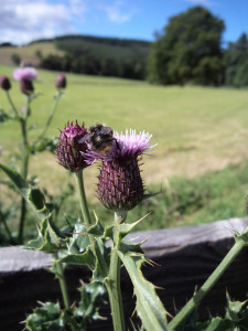 Scottish thistle, with bee butt.