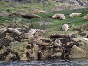Seals blobbing