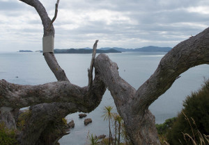 Neat Pohutakawa tree